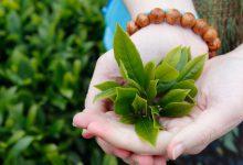 Photo of Tinh chất trà xanh có tác dụng gì trong việc làm đẹp?